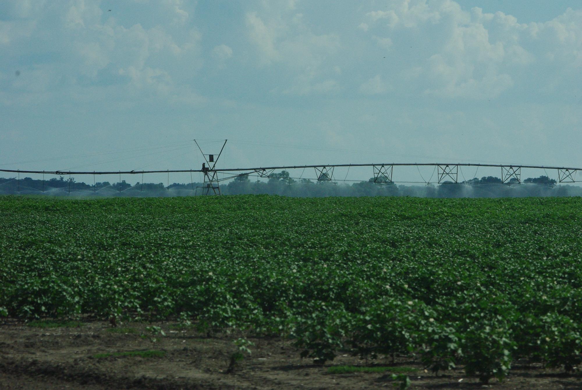 Les champs de coton partout