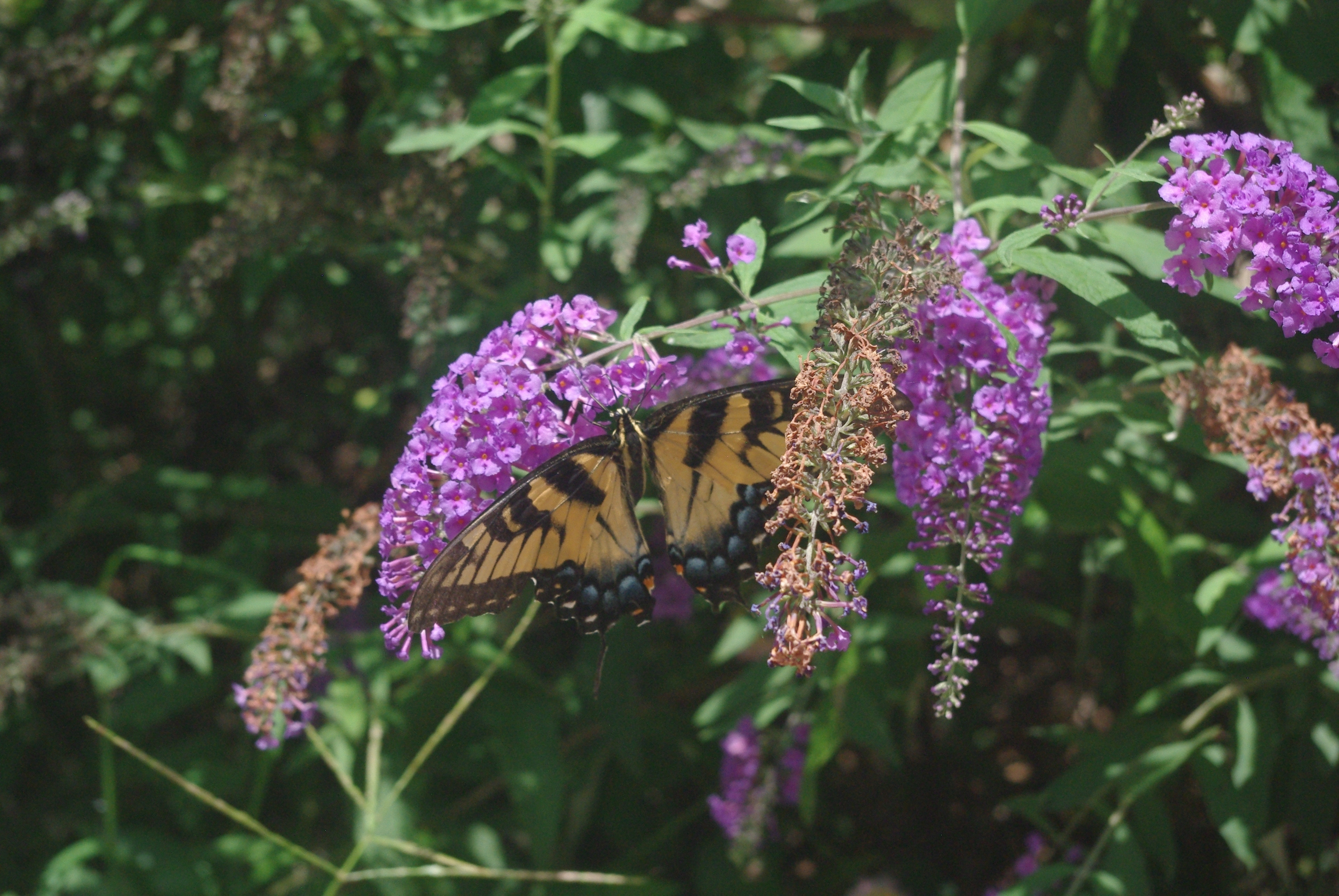 En Amérique tout est grand même les papillons