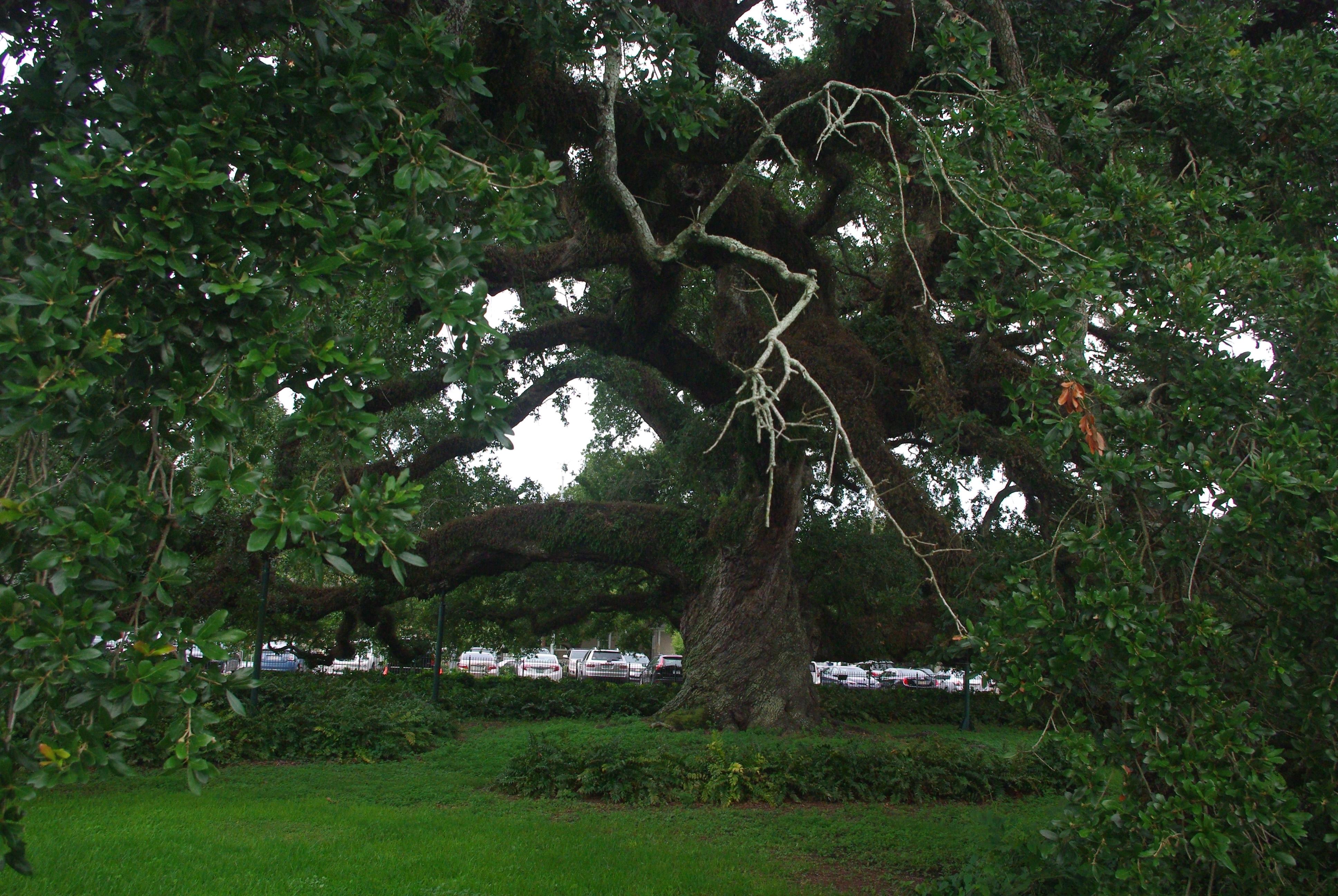 Un chêne de plus de 500 ans au tronc en spirale