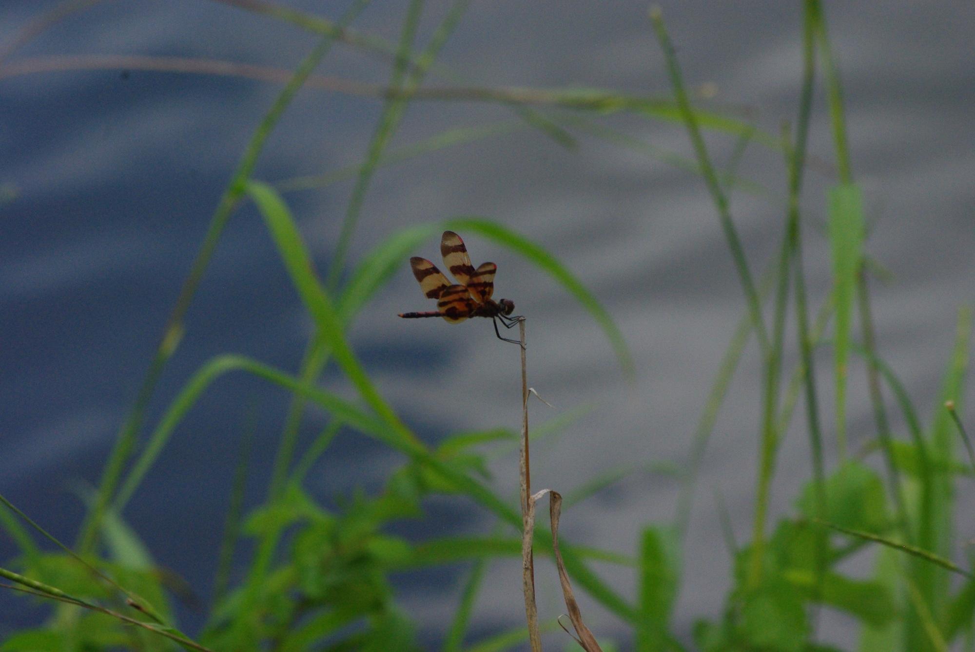 Enormément de libellules ici