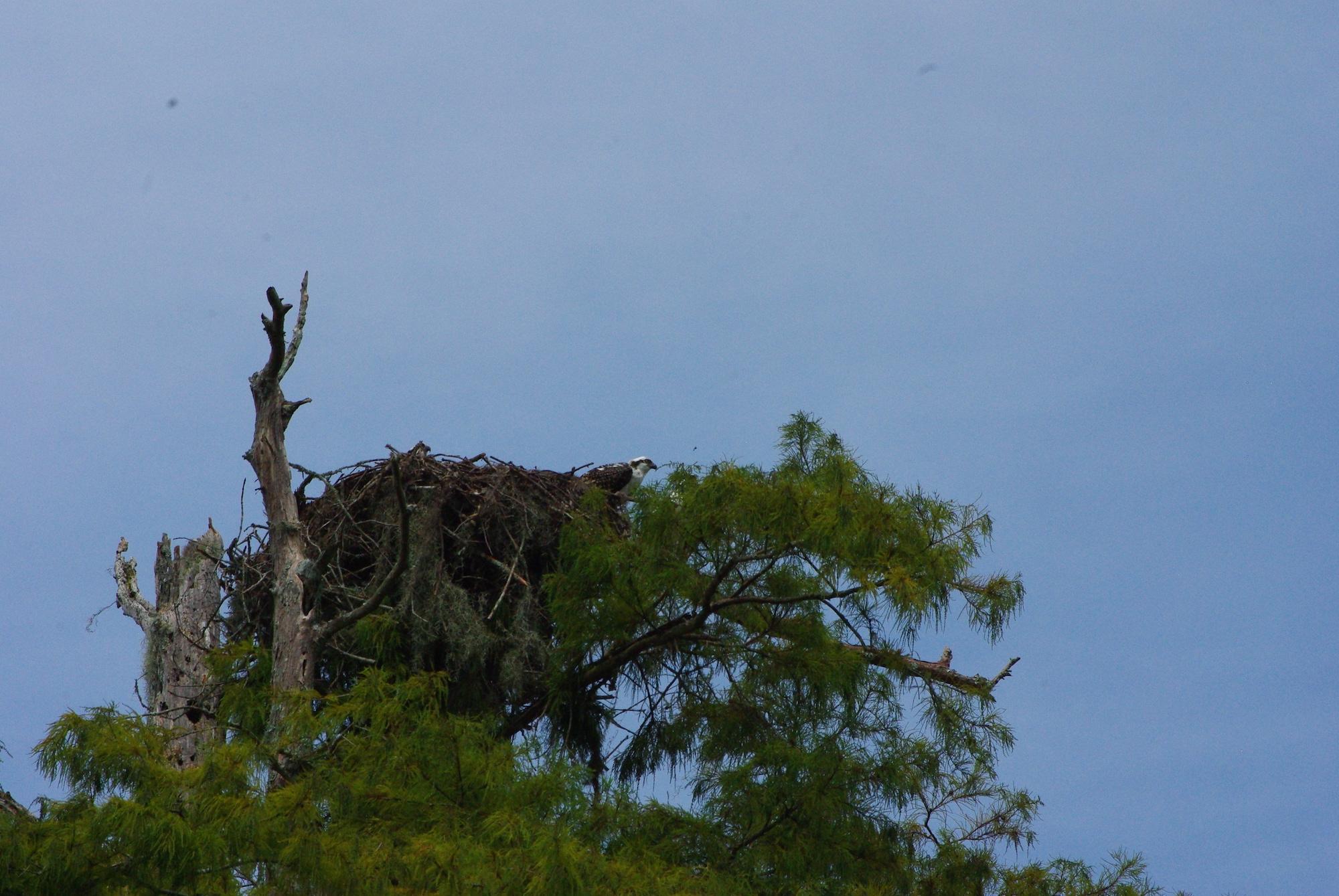 Un nid très haut perché