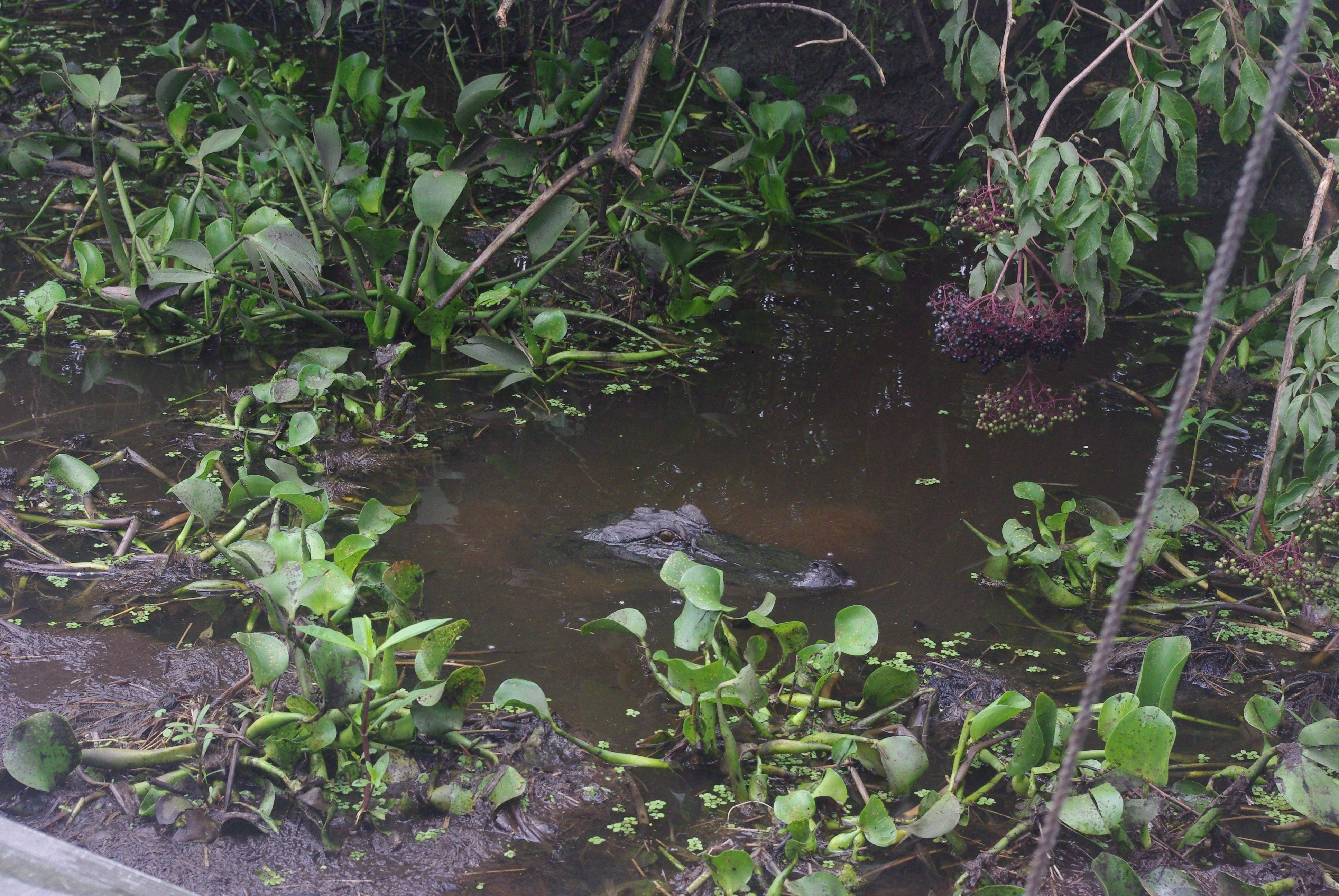 """Voilà le 1er alligator """"apprivoisé"""" à la cuisse de poulet. C'est une femelle et elle protège ses oeufs restés sur la berge"""